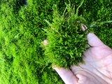 Weeping mos (Vesicularia ferriei)_
