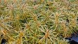Eustralis stellata