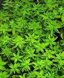 Onderwater vorm van de Limnophila aromatica groen