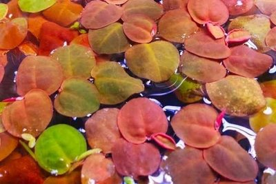 Phyllanthus fluitans (kleine schaal)