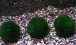 Mosbal / Marimo - (Cladophora aegagropila)
