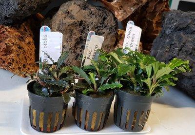 Bucephalandra Mix 3 planten