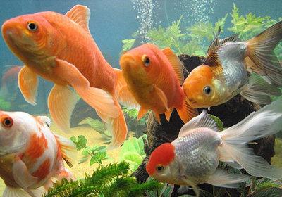 koudwater/goudvis plantenpakket 1