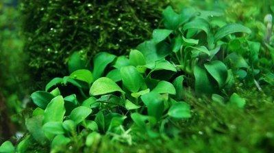 Anubias Mix 3 planten